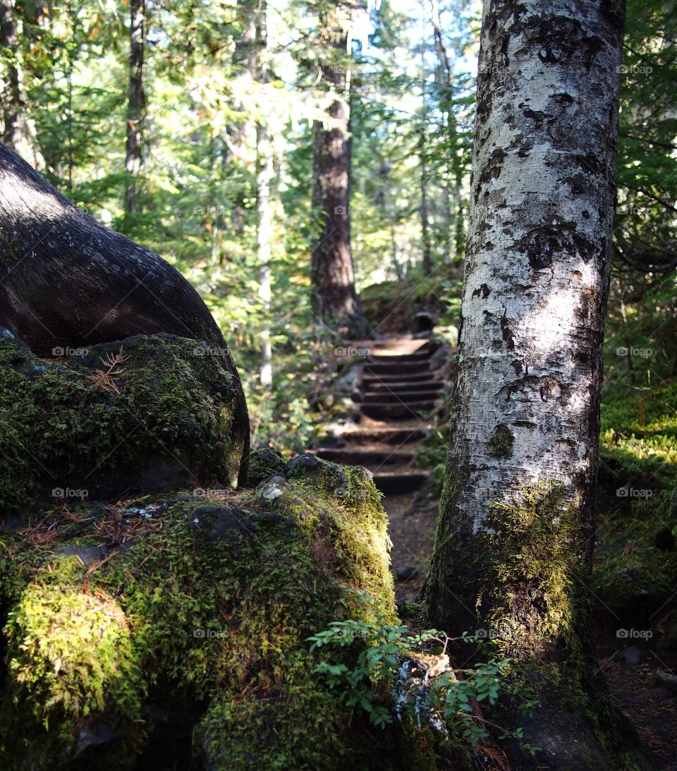 Stairs on the McKenzie River Trail in Western Oregon viewed through a tree trunk and giant boulder on a sunny fall morning.