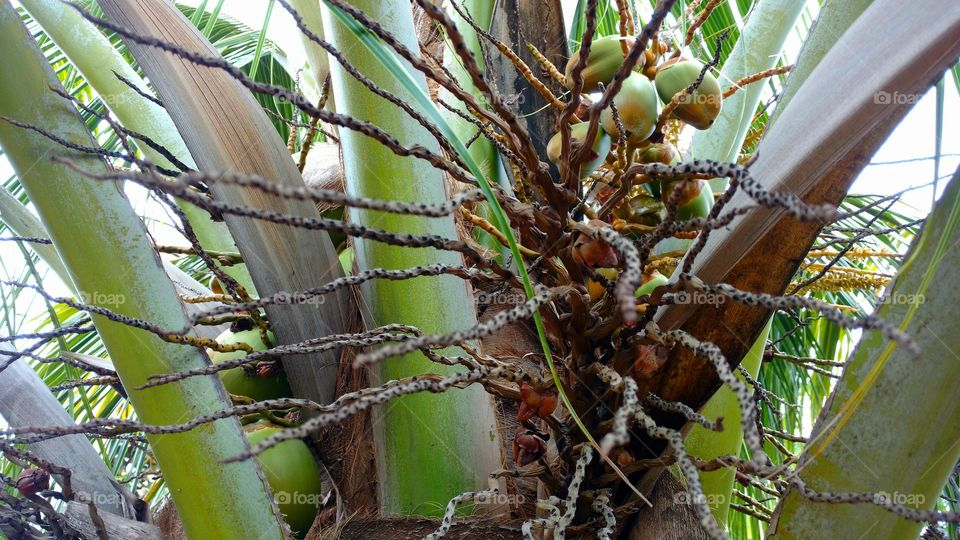 Capa, casca, caule, folha e fruto de coqueiro.