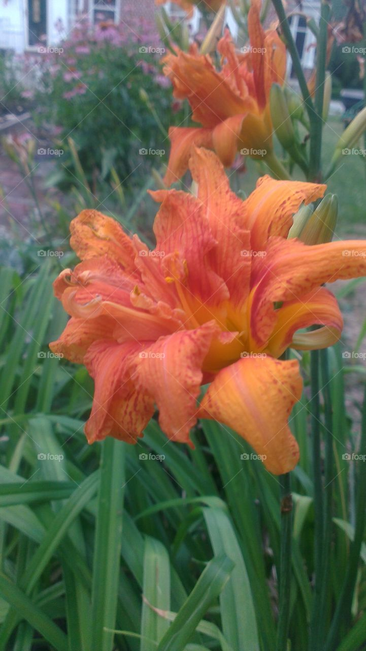 Orange Frilly Lily