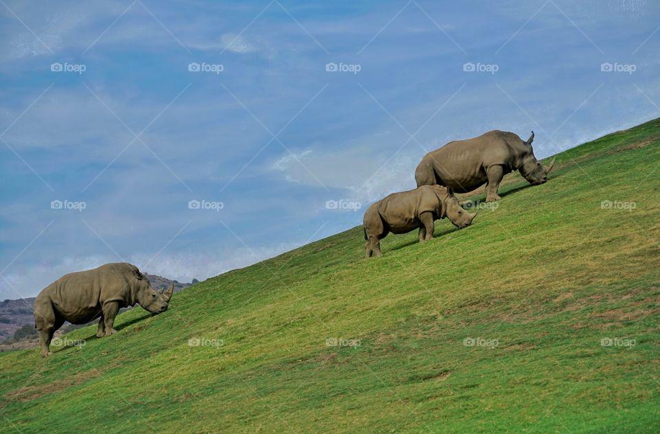 Herd Of Rhinoceros On A Grassy Slope