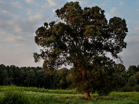 Before a Sea of Kudzu. A tree that I used to see everyday in a field covered in Kudzu