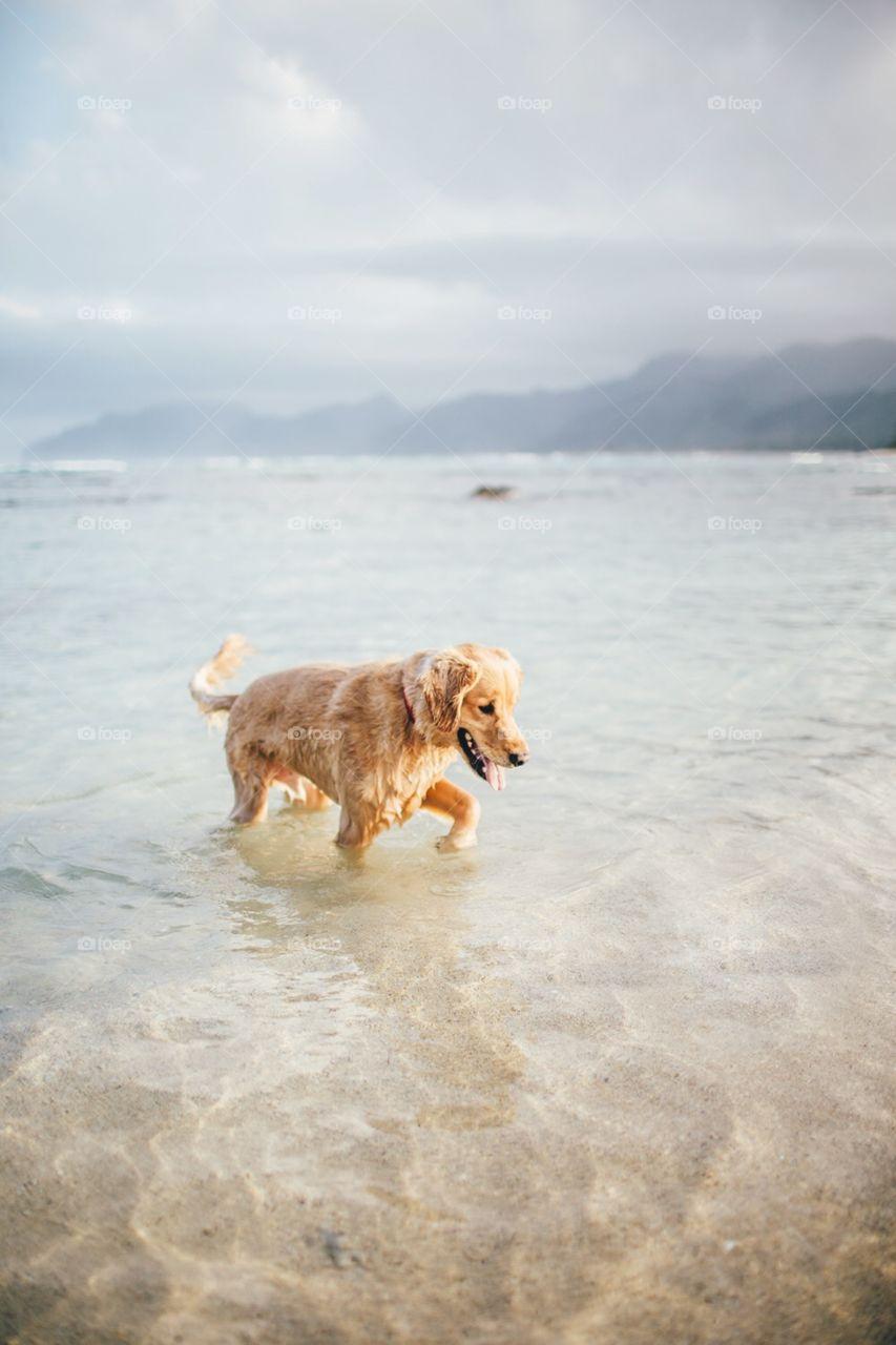 Golden retriever plays in ocean.