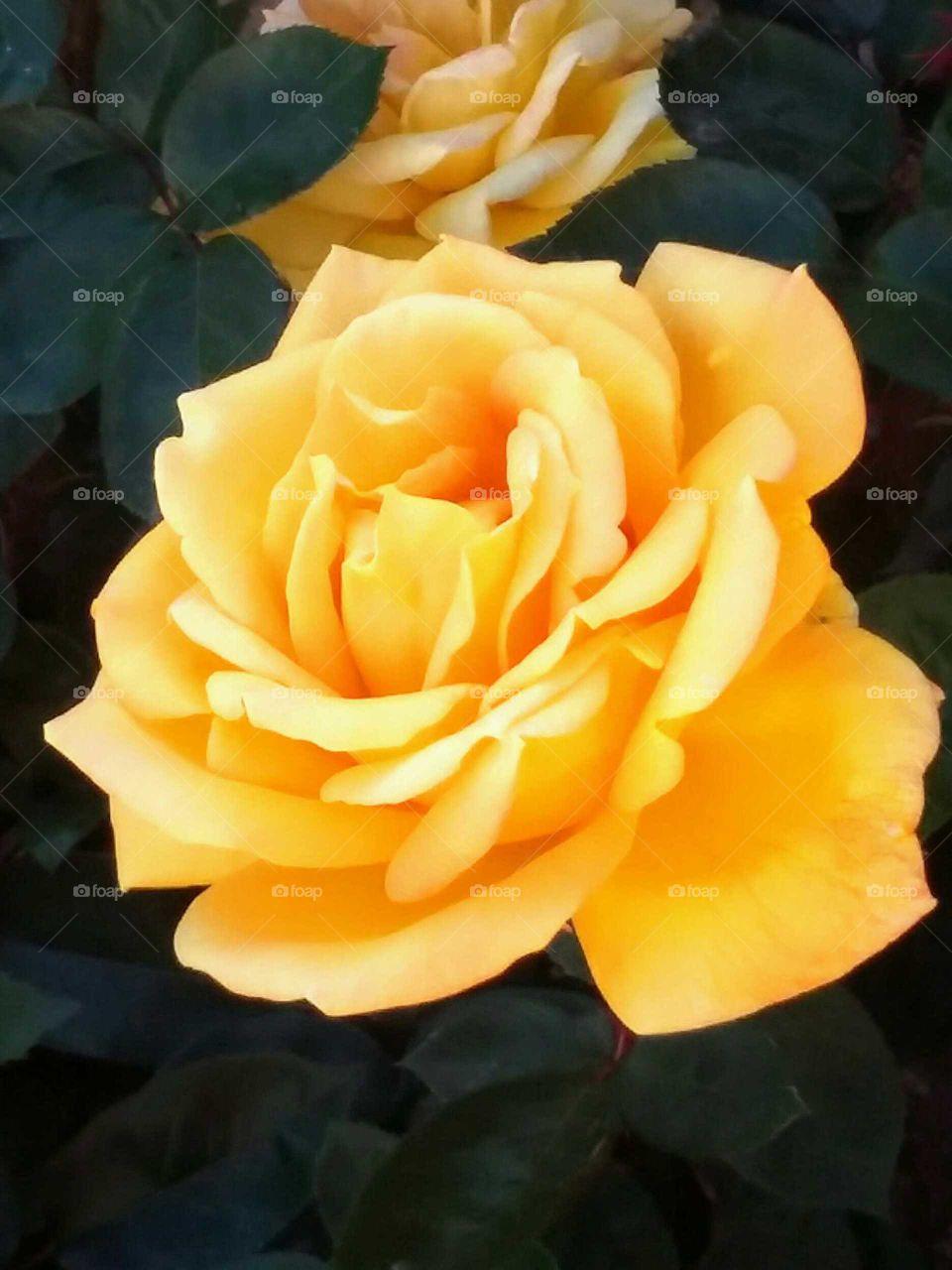 Yellow Rose =Friendship