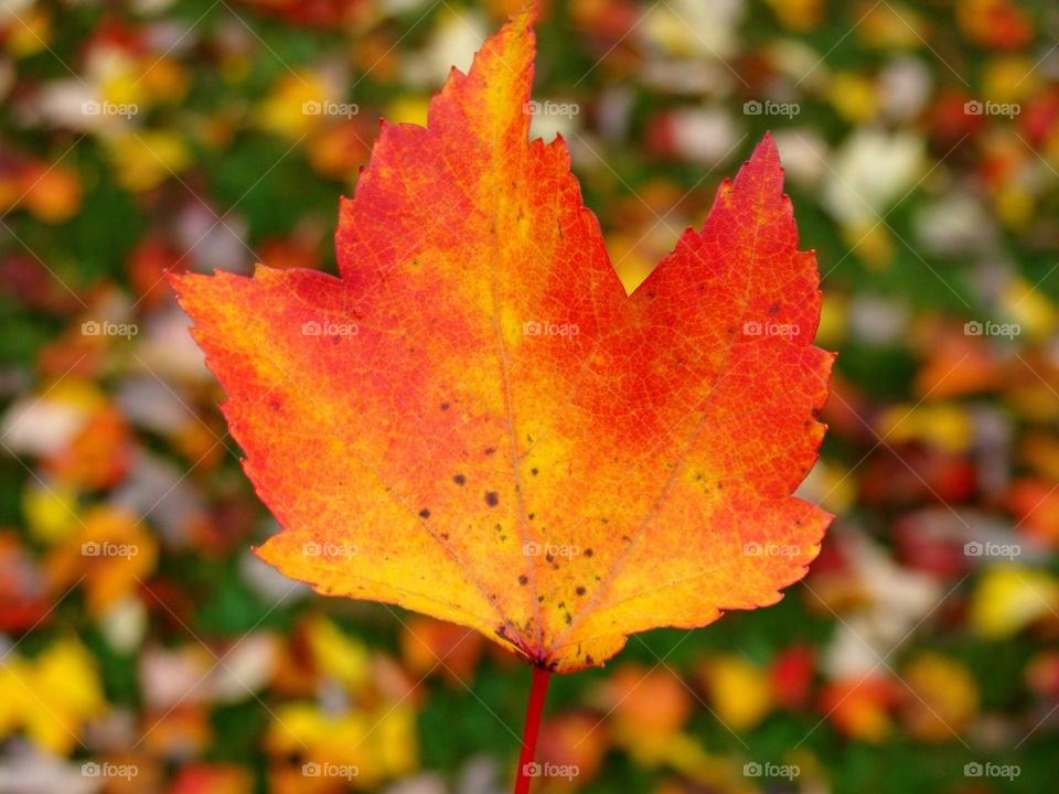 A beautiful orange Autumn leaf shines bright before a background of freshly fallen New England leaves.