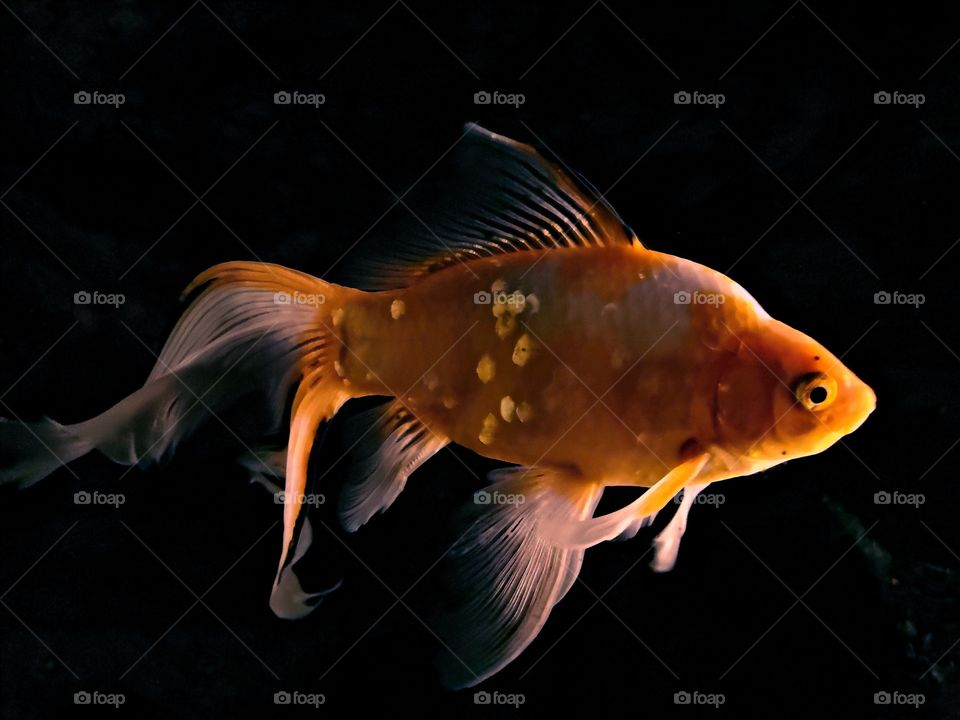 My dearest goldfish with it's beautiful gold colors in dark background