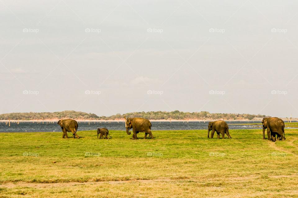 Elephants walk for bathing