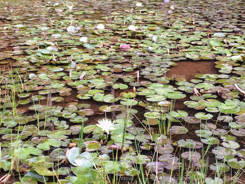 A lake of Victoria Regias
