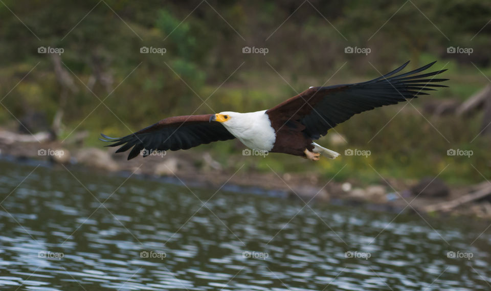 African Fish Eagle, Naivasha