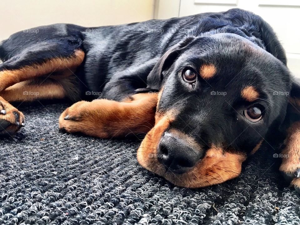 Tired Rottweiler puppy