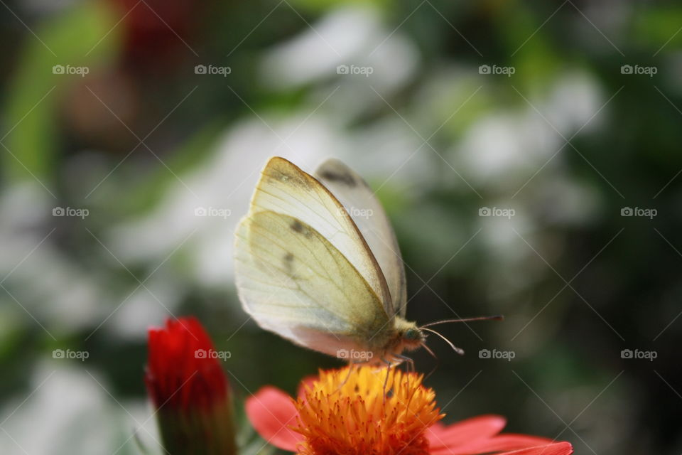 Closeup creamy white butterfly resting on yellow flower blurred background