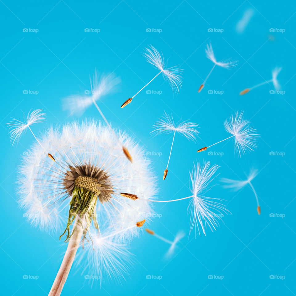 Overblown dandelion with seeds flying away with the wind during spring over blue clear sky