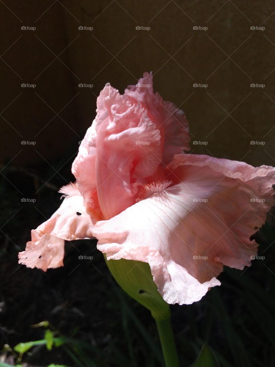 Pink bearded Iris