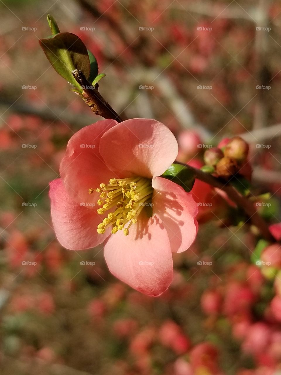 Single red blossom on a Japanese Quince bush in the spring