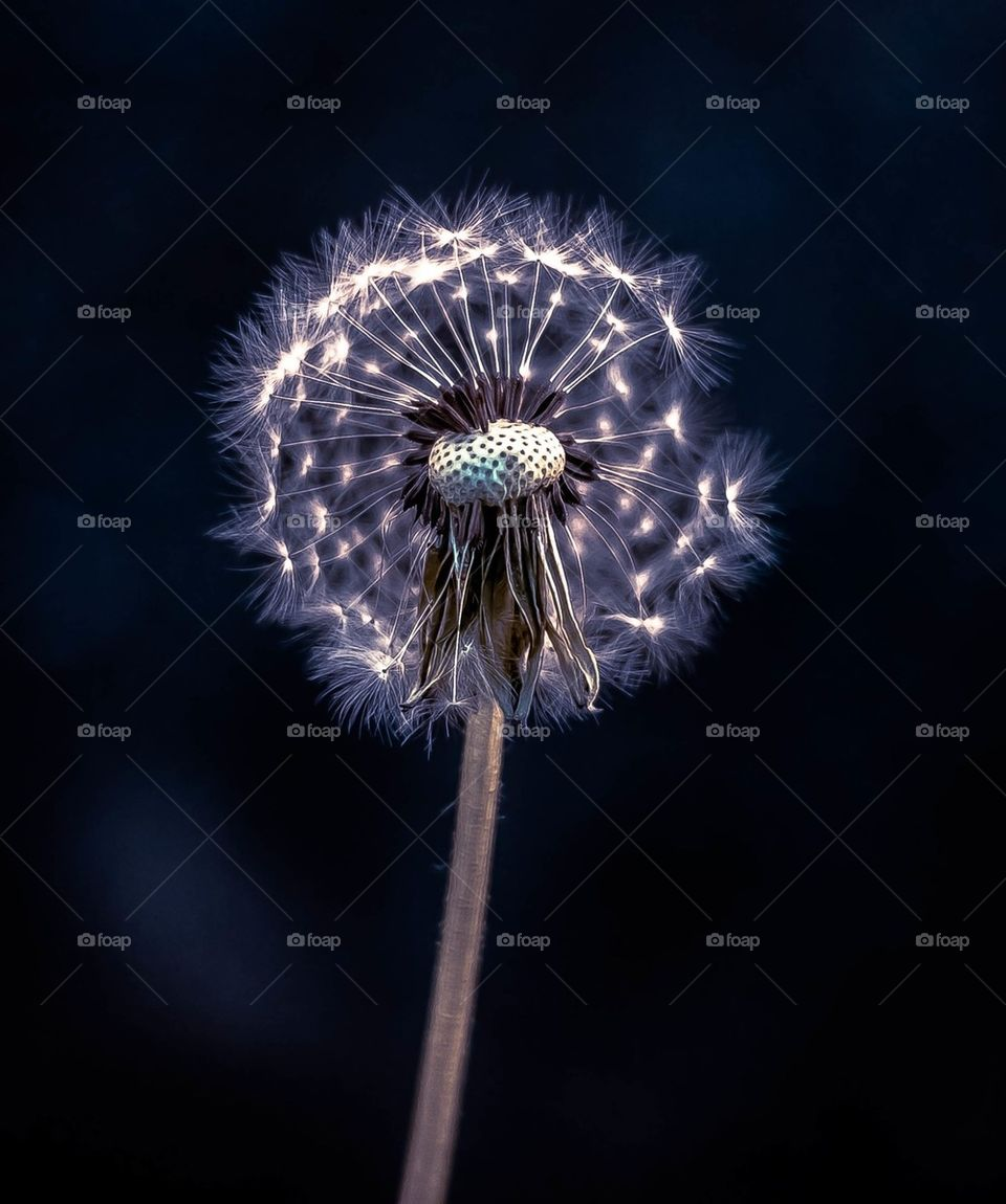 Close-up of a dandelion flower