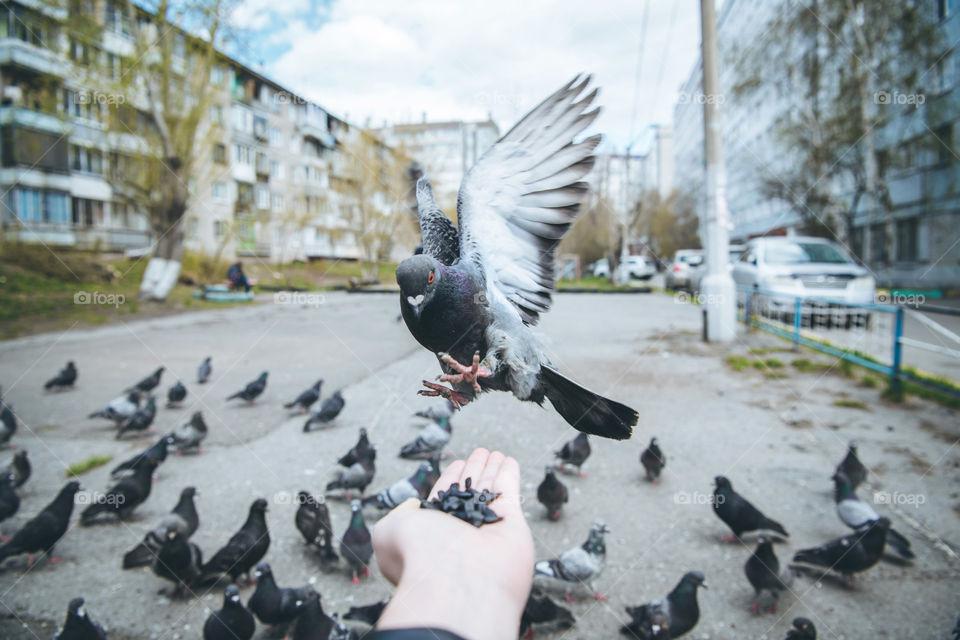 Feeding city doves