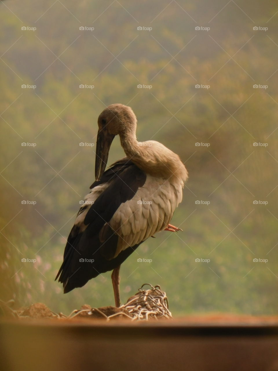 Bird Photography-The Asian openbill or Asian openbill stork (Anastomus oscitans) is a large wading bird in the stork family Ciconiidae. This distinctive stork is found mainly in the Indian subcontinent and Southeast Asia.They have wetland habitat.
