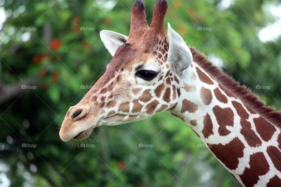 Giraffe Head Green Background