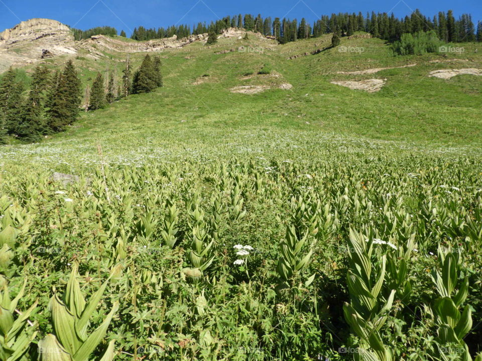 High elevation Green plant meadow