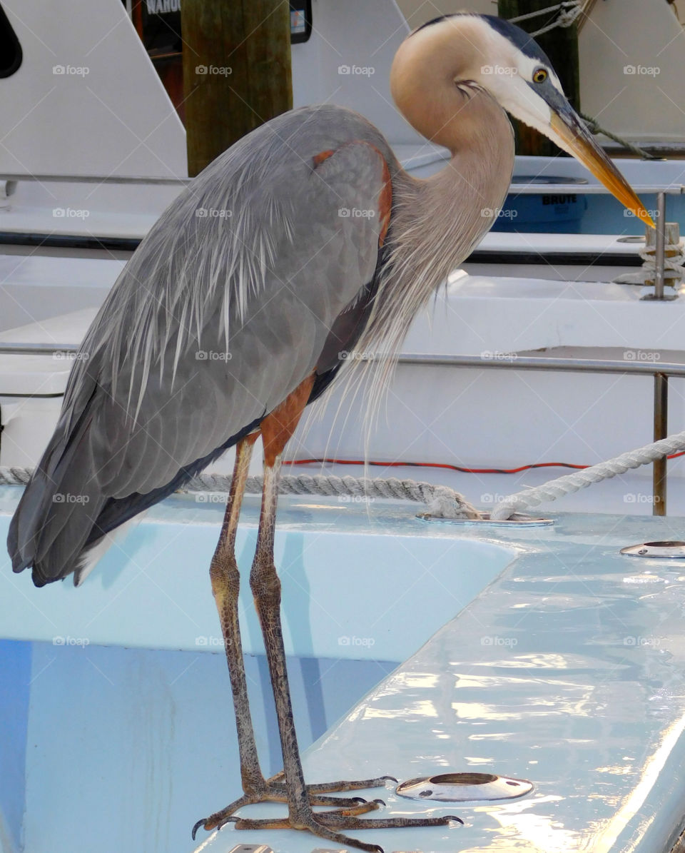 Blue Heron perched on the back of a fishing vessel, looking for his next meal!