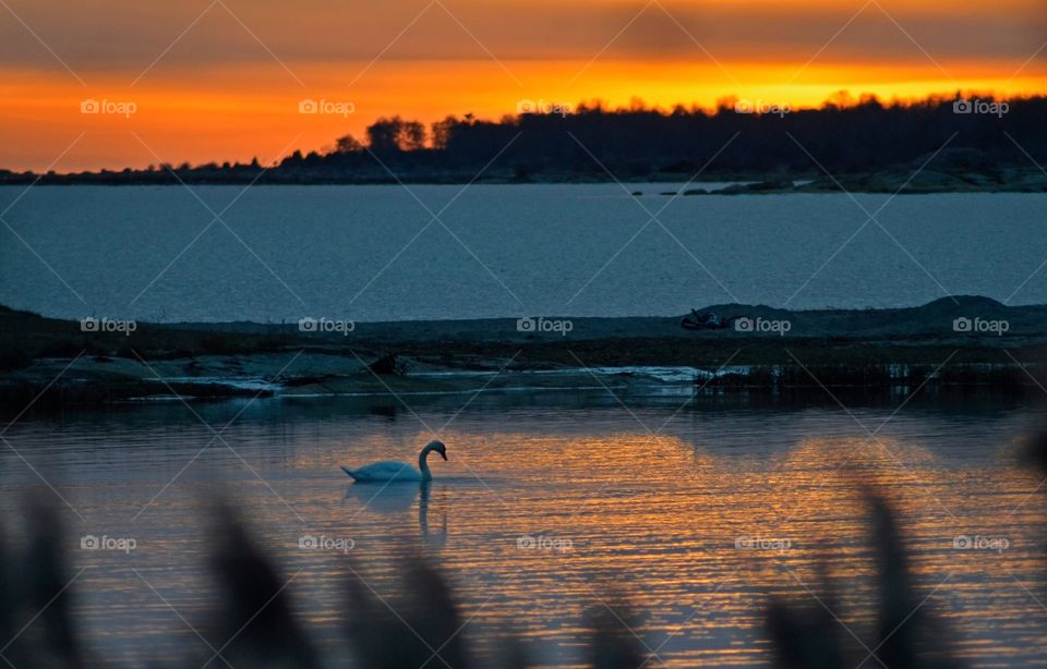 Swan swimming in water at sunset