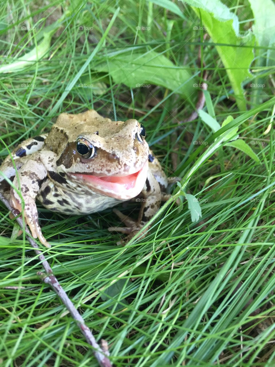 Croaking frog on the grass