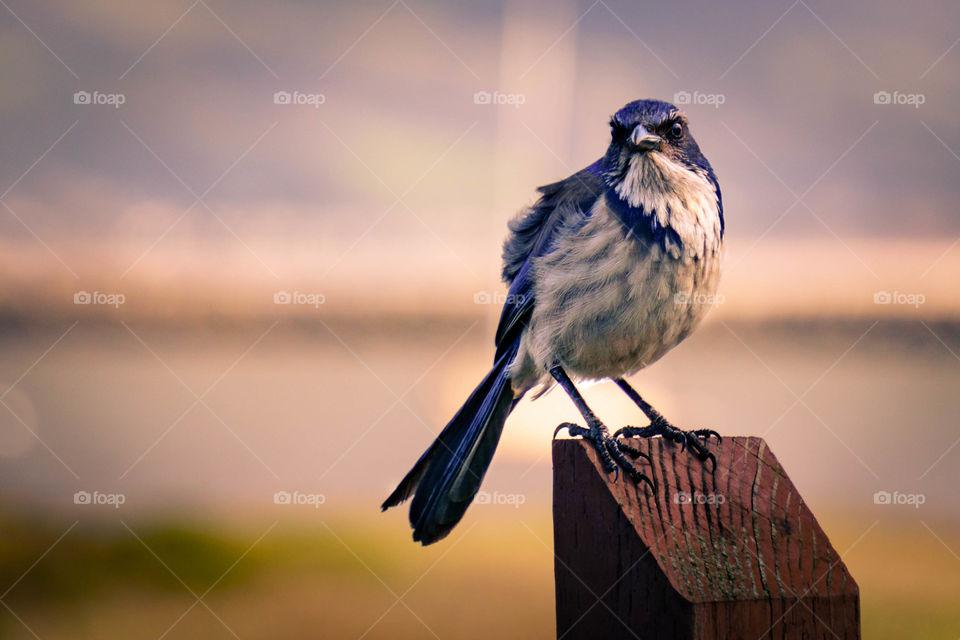 Portrait of scrub jay perched on wood