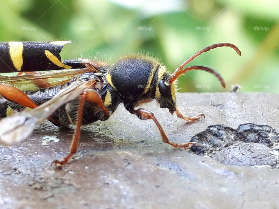 wounded wasp beetle