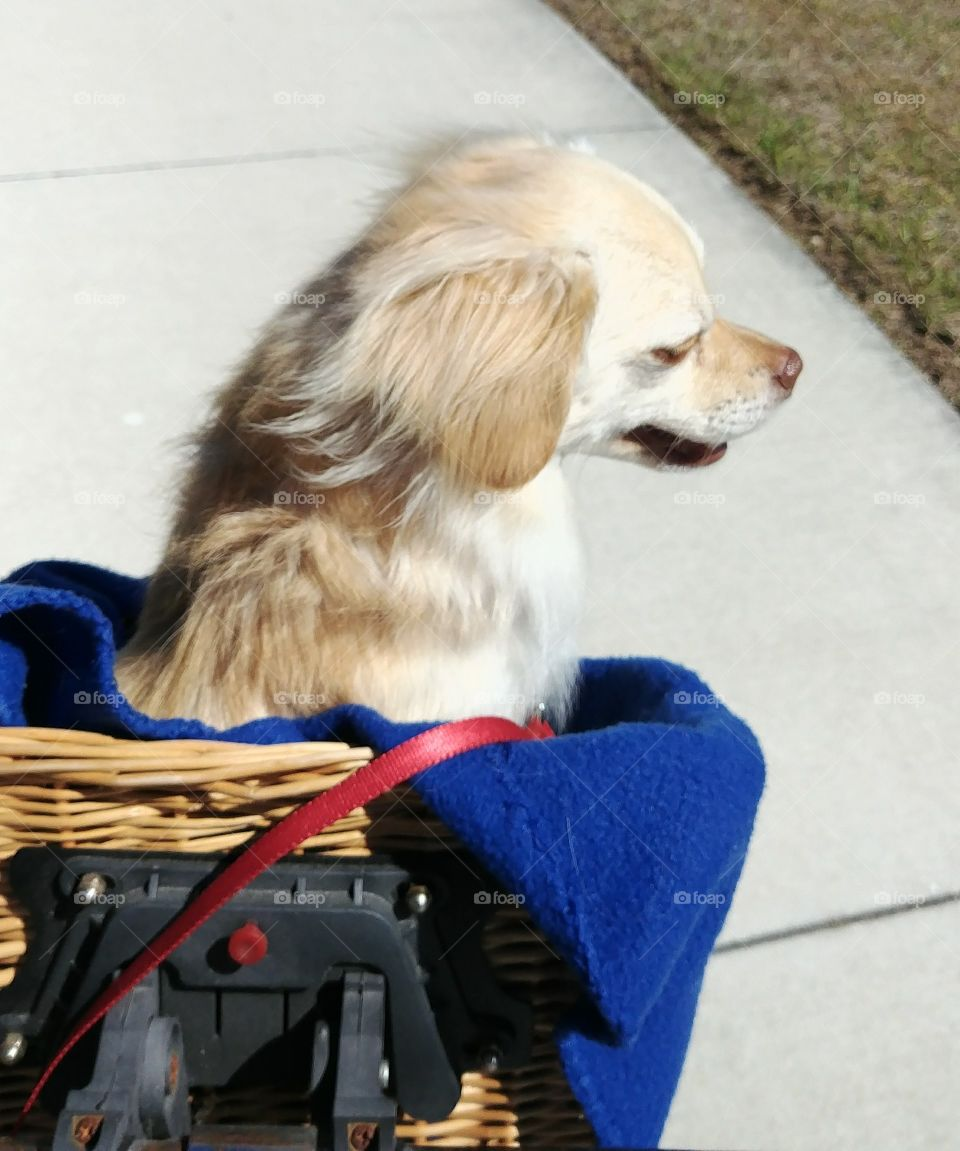 Chihuahua dog in bicycle basket ears flapping