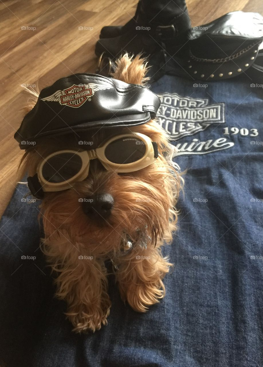 Yorkie getting gear on for a ride