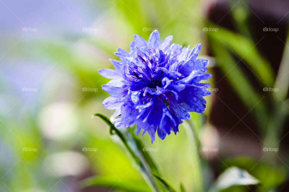 Blue flower of knapweed