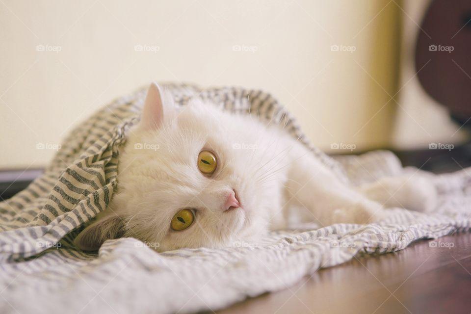 White cat relaxing on floor