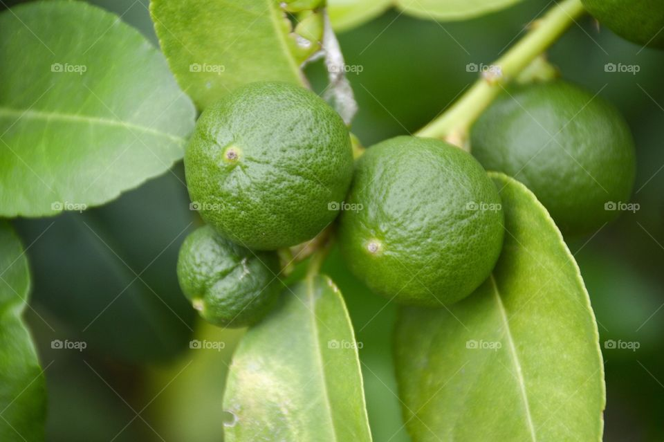 Limes fruit in nature garden