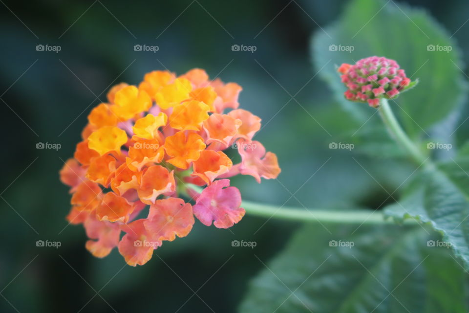 Clusters of tiny pink and orange flowers (Lantana; Verbena).
