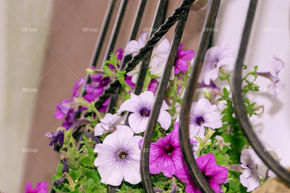 Multicolored petunia flowers in a flowerpot outside the window of the house.