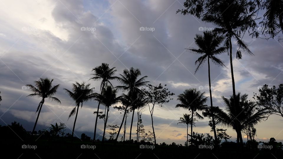 the coconuts tree