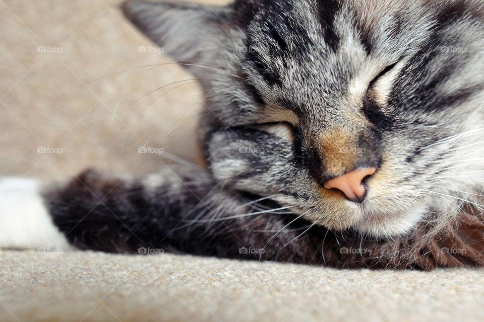 Close-up of a tabby cat sleeping