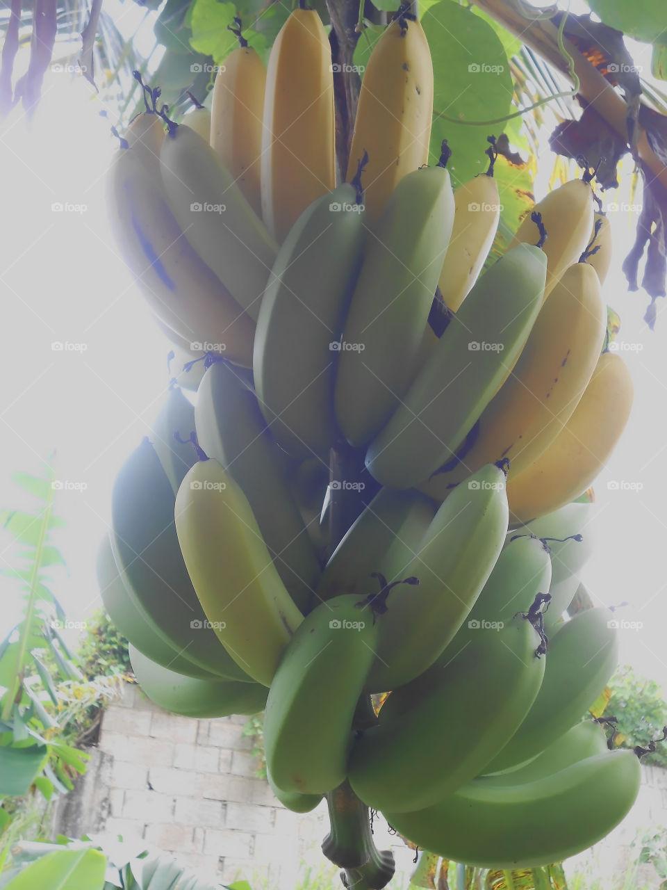 Sunlight Effect on Banana Bunch