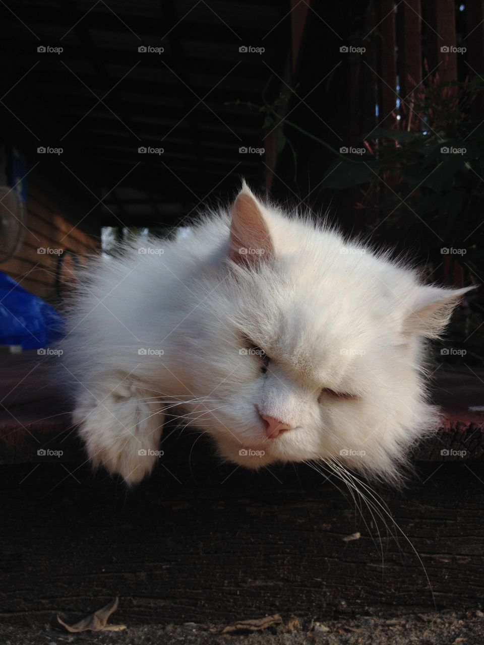 Close-up of a white cat sleeping