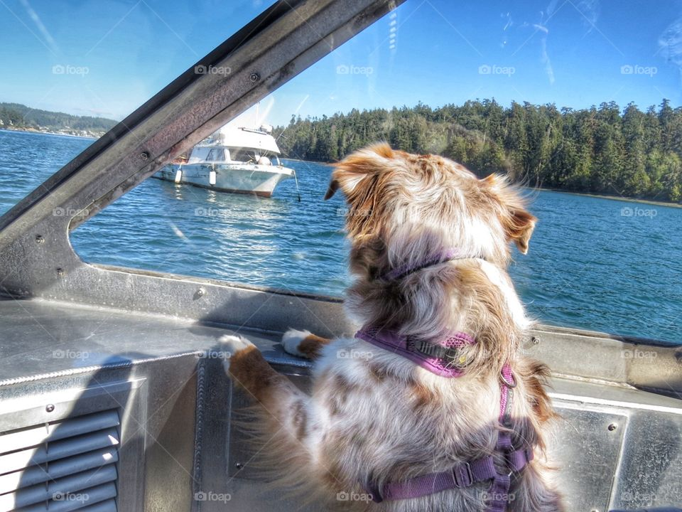 Australian Shepherd puppy looking out onto the water from a boat.
