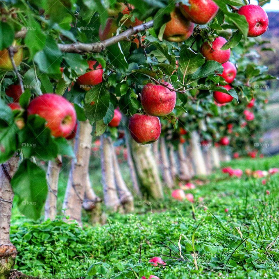 bountiful apple trees