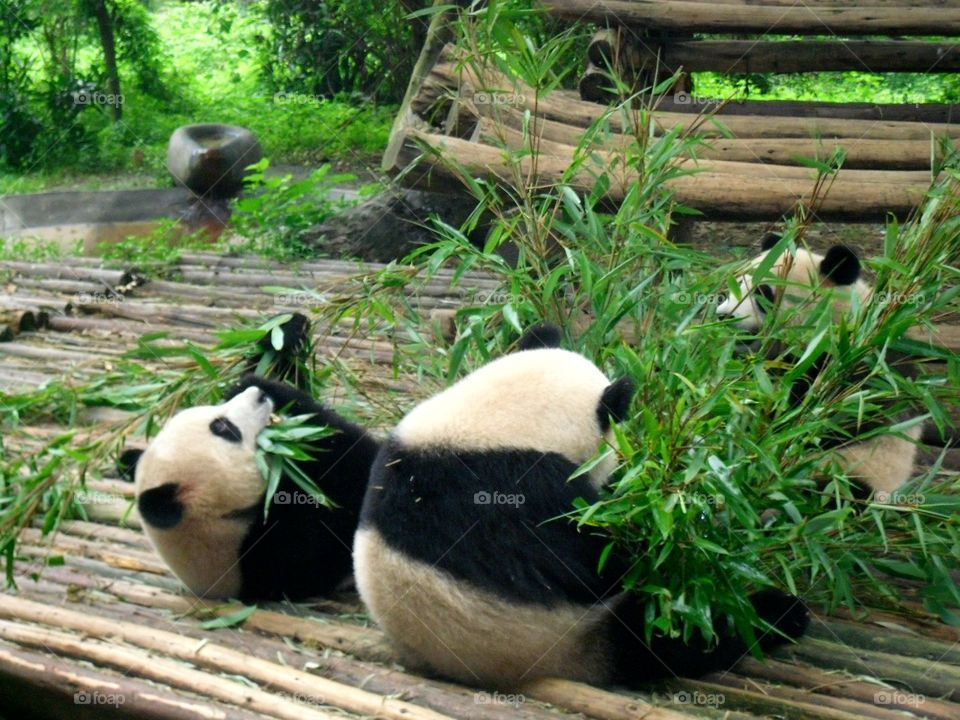 Panda bears feasting on bamboos