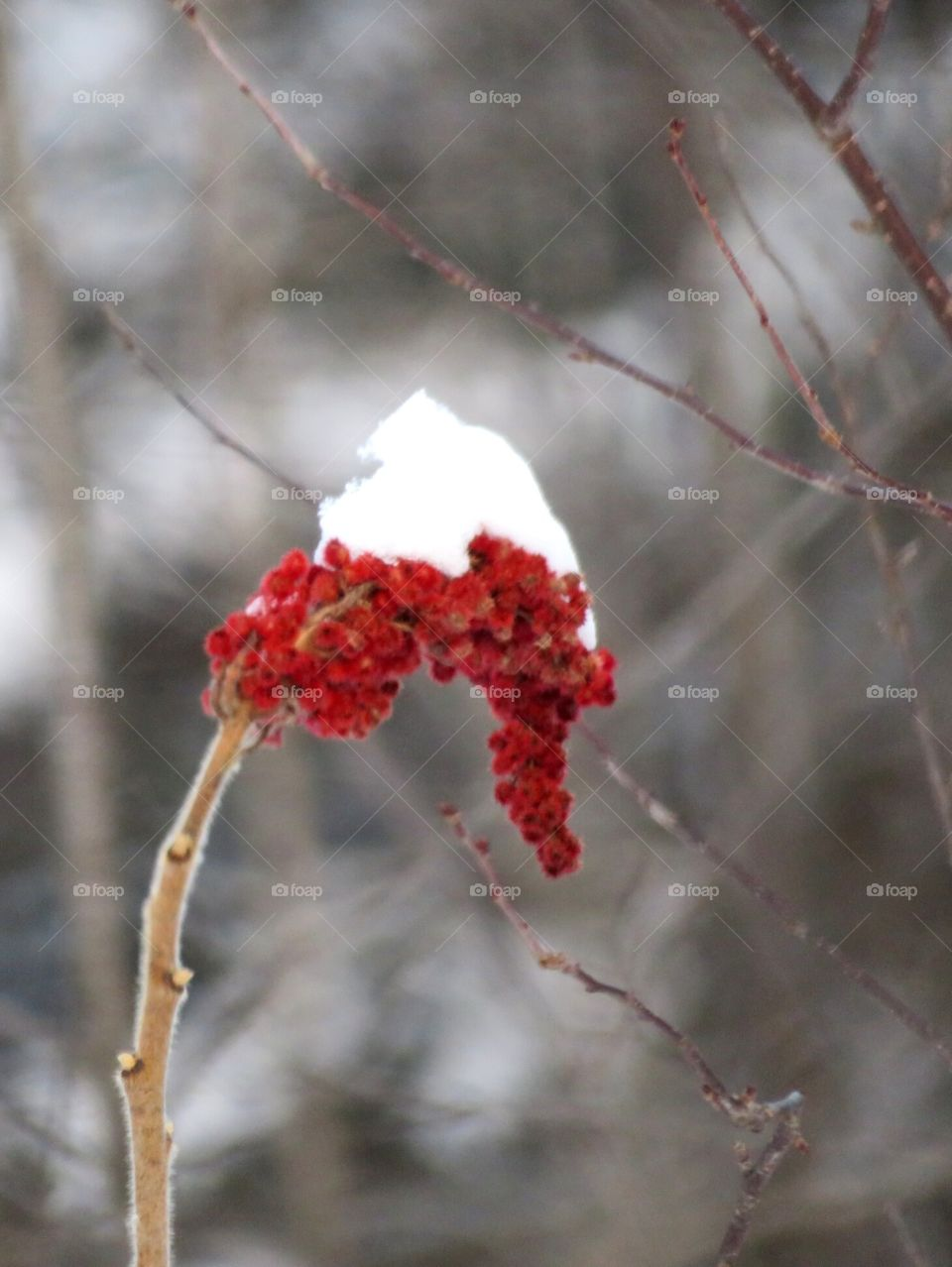 Snow-capped Berries