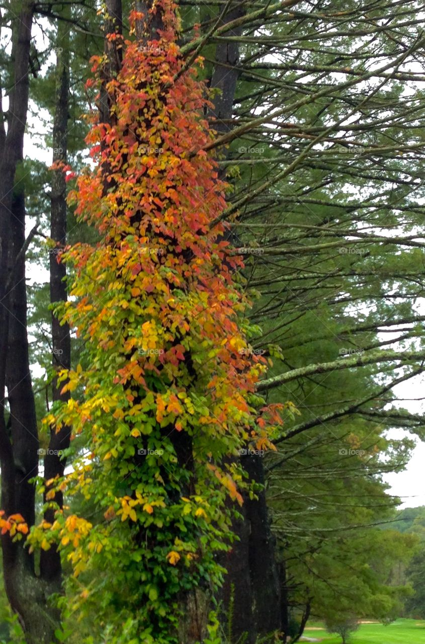 Virginia Creeper Fall. A vine covered pine shows off its wrapping of a brightly colored Virginia Creeper.