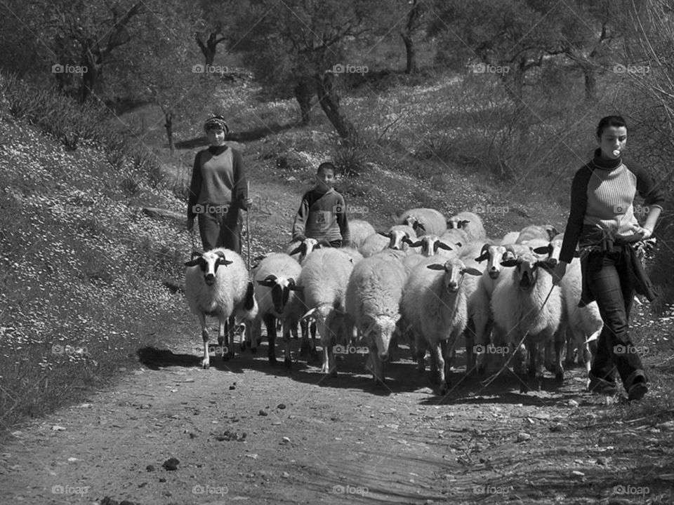 Young Shepherds taking sheeps to home