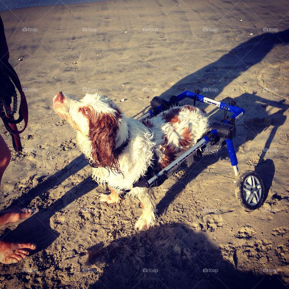 beach wheel orange dog by annieadj