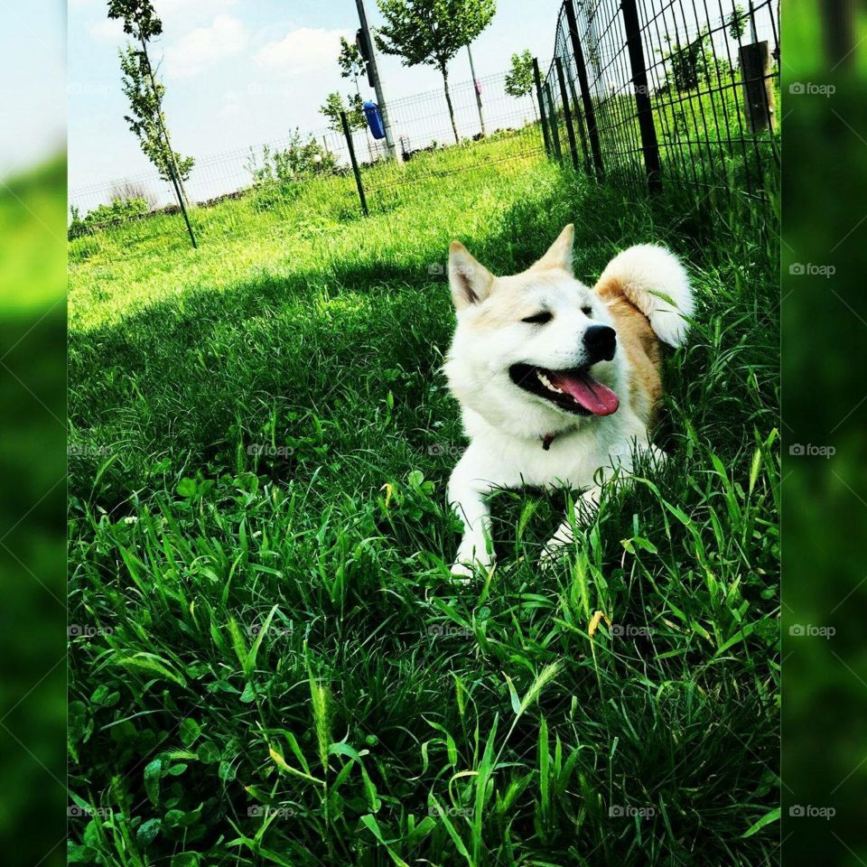This is Pixie Pixie is an awesome dog  Pixie is an Akita Inu