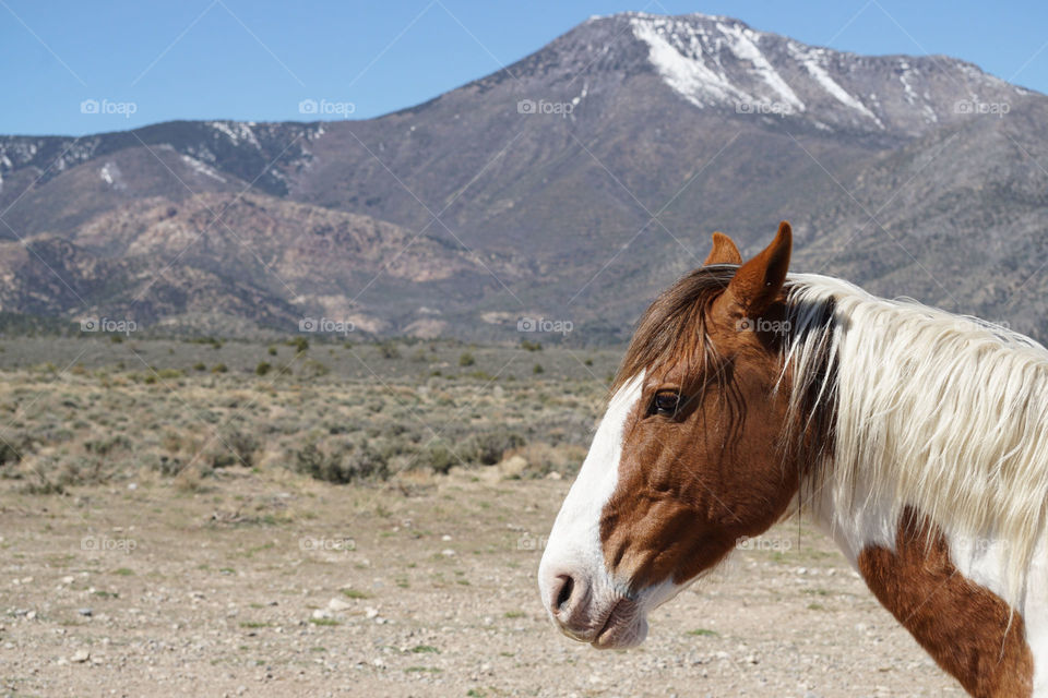 Wild horse near mountain during winter