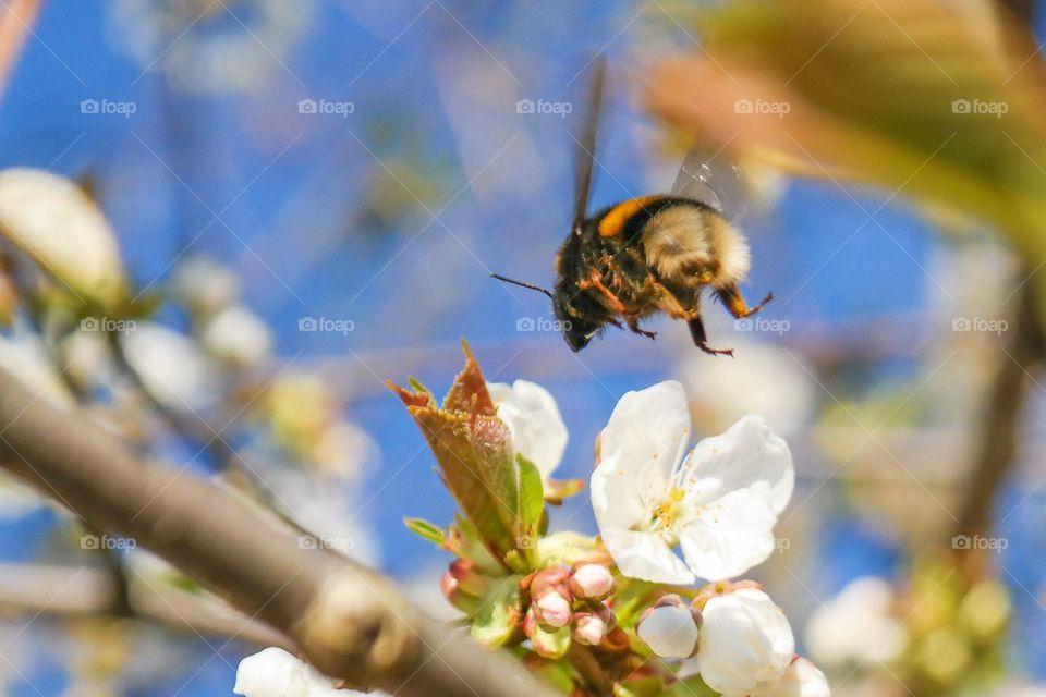 Bumblebee flying over flower