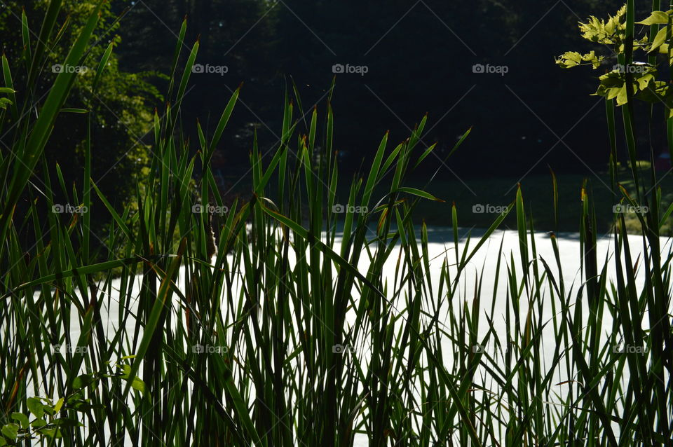 sunny pond tall grass