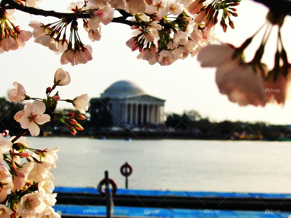 cherry blossom and Jefferson m. I took this photo in Washington D.C. during the cherry blossom time. Jefferson Memorial is at the background.
